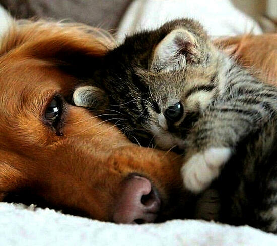 Картина по номерам 40x50 Милый котёнок и взрослый пёс
